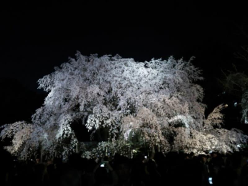 六義園のしだれ桜(7)/2014年・ライトアップ・満開