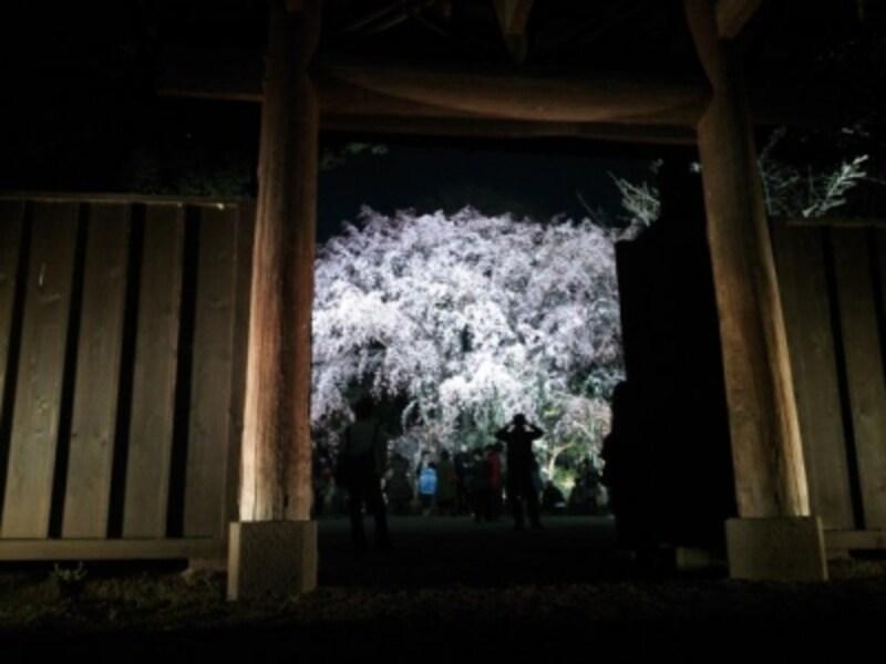 六義園のしだれ桜(8)/2015年・ライトアップ・満開