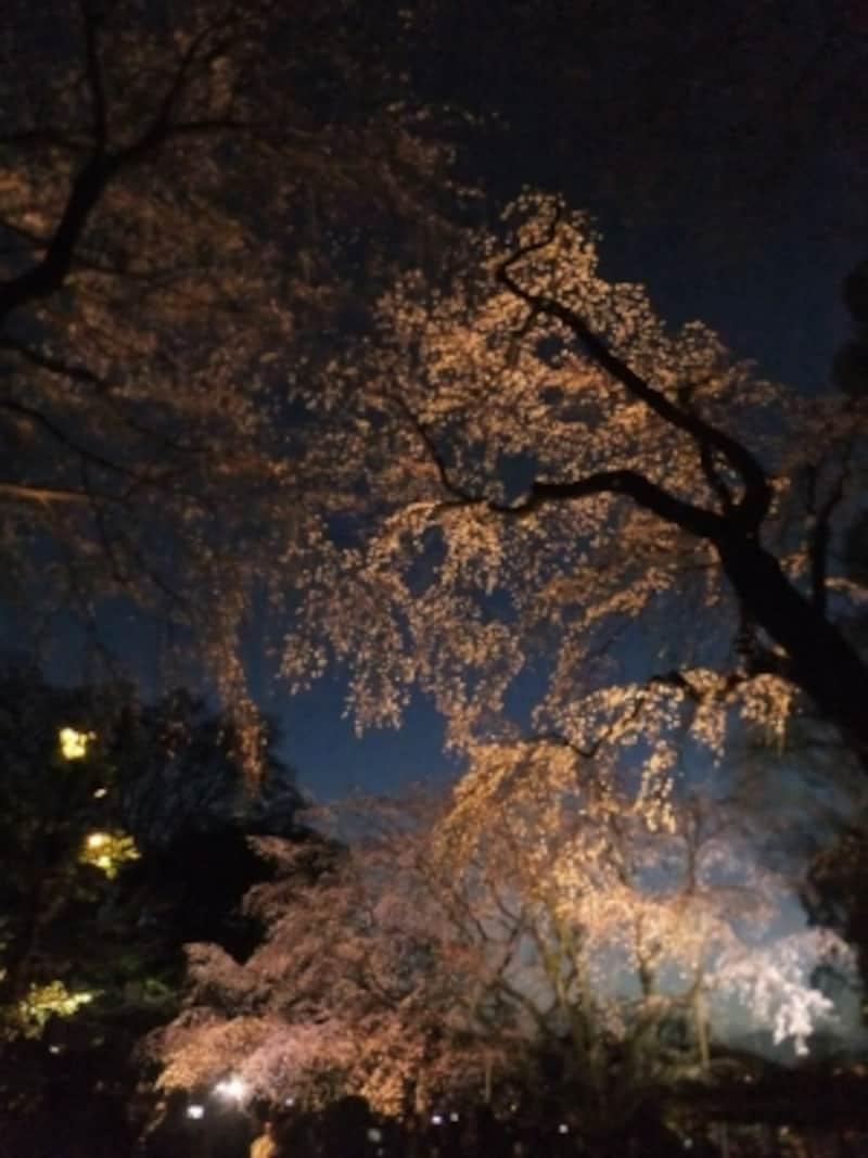 六義園のしだれ桜(10)/2016年・ライトアップ・竹林近くのしだれ桜