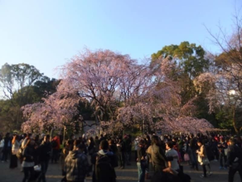 六義園のしだれ桜(11)/2016年・見頃(満開直前)