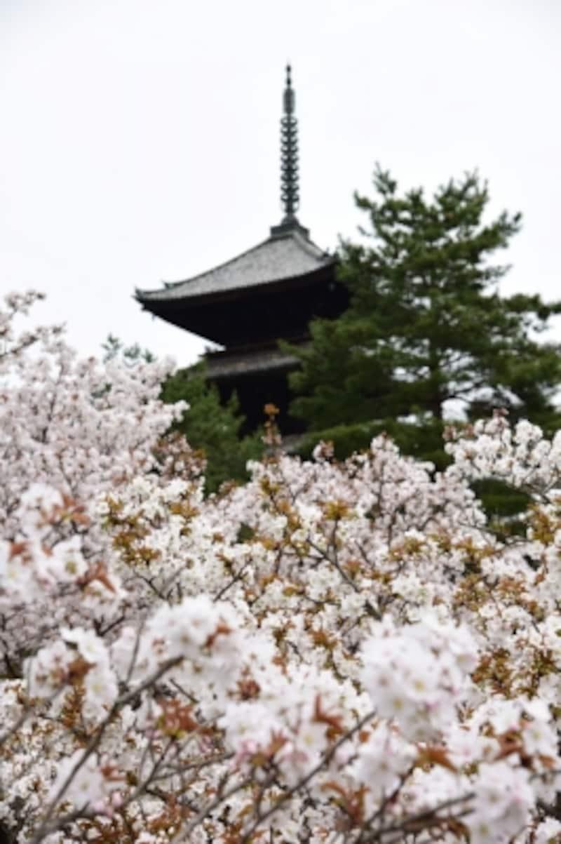 御室桜と仁和寺の五重塔