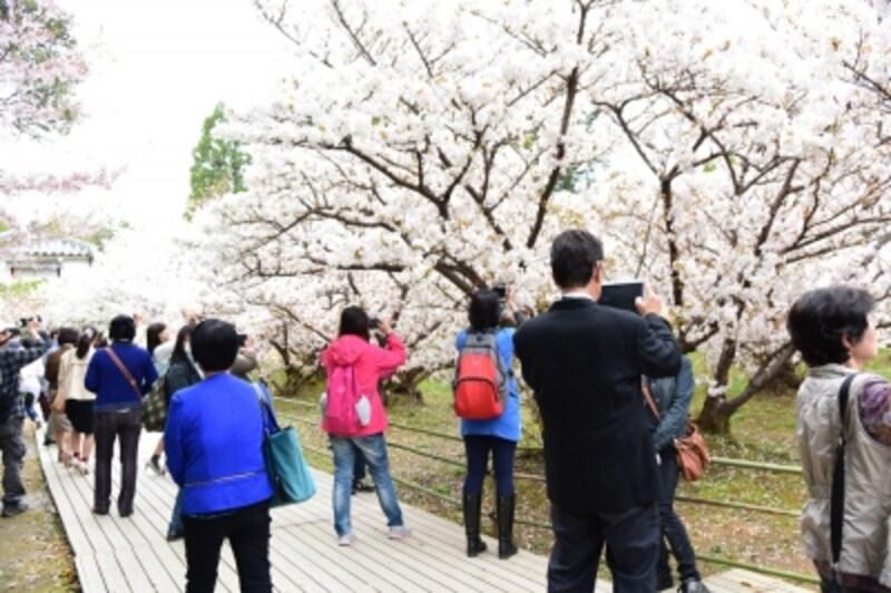 御室桜には、花(鼻)が低いことから、「お多福桜」の別名も