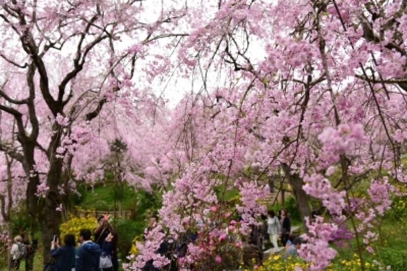 見頃を迎えた原谷苑の桜(2016年4月10日撮影)