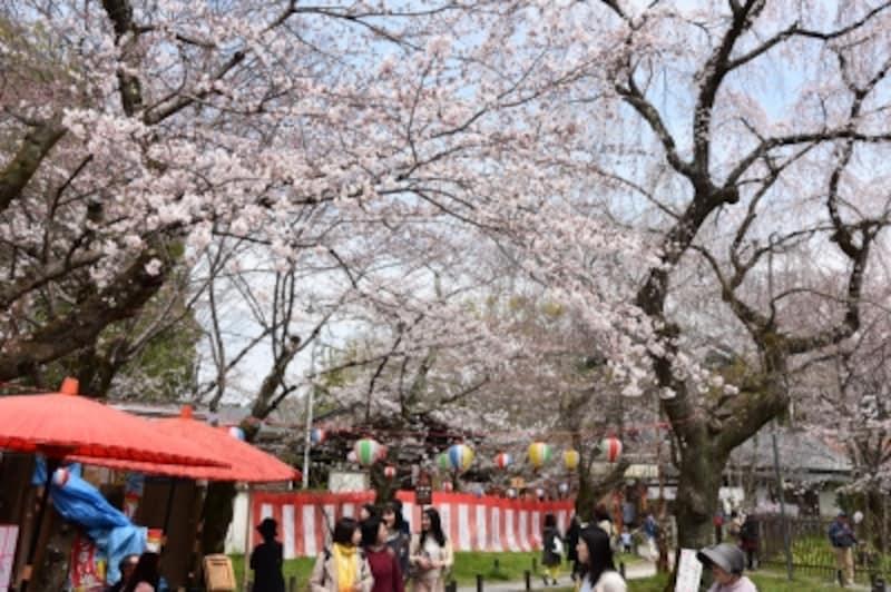 古くから京都で花見の名所として知られる平野神社。境内には、この桜が咲くと京都の花見が始まると言われる「魁(さきがけ)」という枝垂れ桜もある(2016年3月29日撮影)