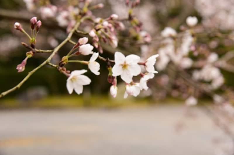 随心院の桜