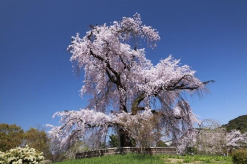 円山公園の「祗園枝垂桜」