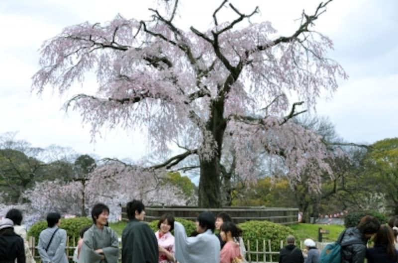 「祗園枝垂桜」「祗園の夜桜」などと呼ばれる枝垂れ桜の大樹(2010年4月2日撮影)