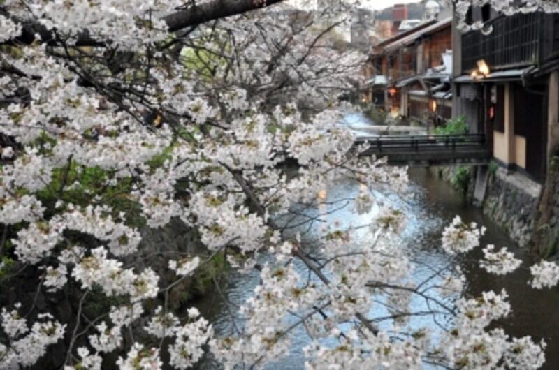 白川の流れと桜(2010年4月2日撮影)