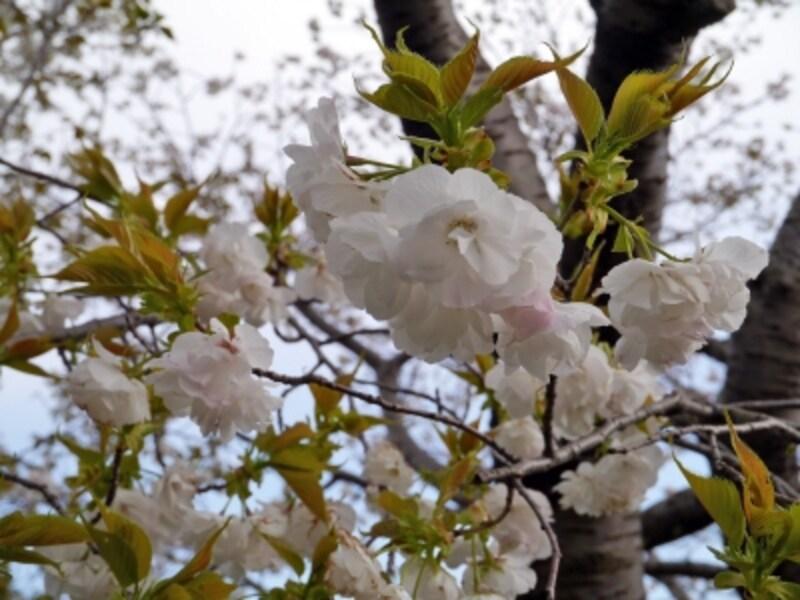 ソメイヨシノ以外のサクラもいろいろ(2014年4月5日撮影)