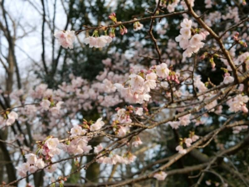 3月中旬に楽しめる「大寒桜」(2016年3月11日撮影)