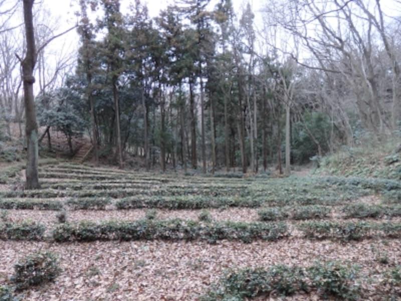 トトロの森1号地を囲む茶畑