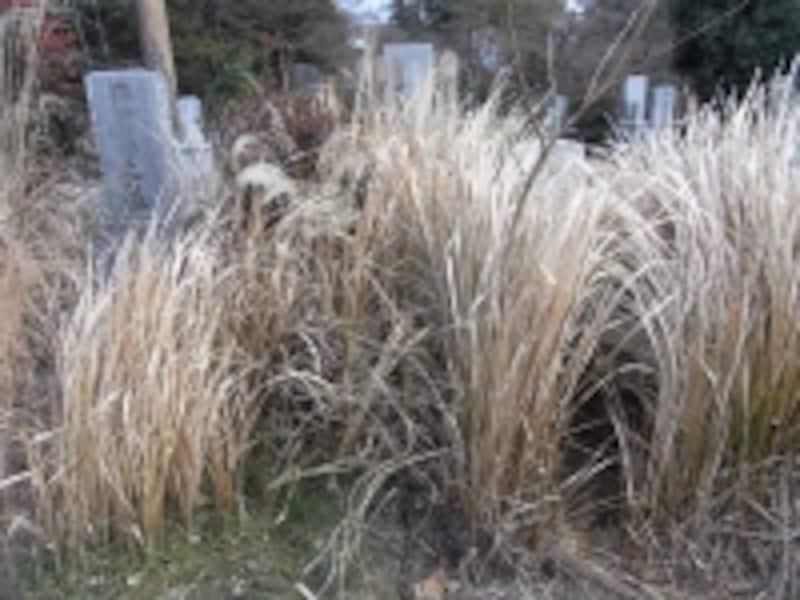 手入れがなされていない墓は、みるみる荒れていきます