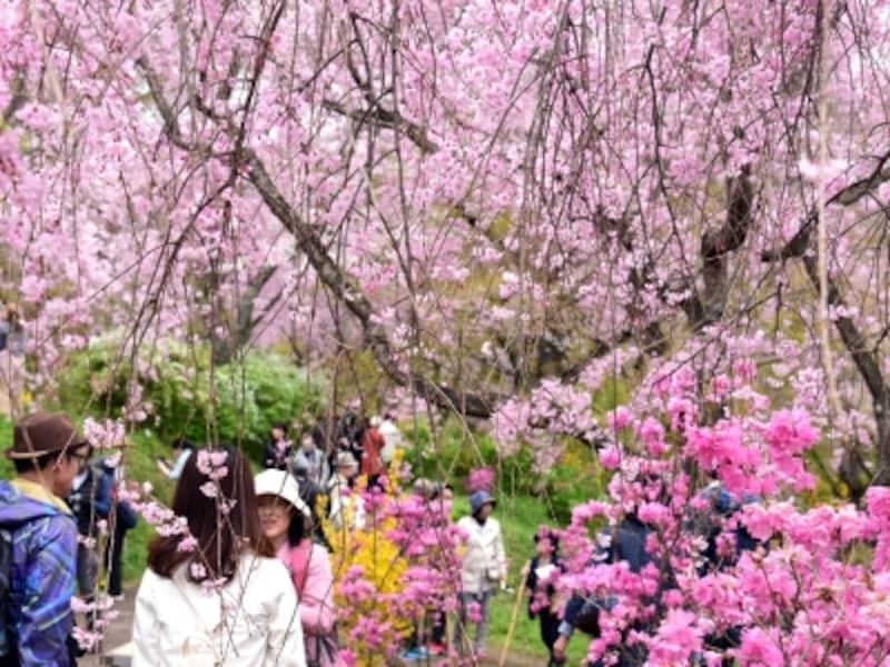 2016年4月10日に撮影した原谷苑の様子。紅しだれ桜が今を盛りと咲き誇る