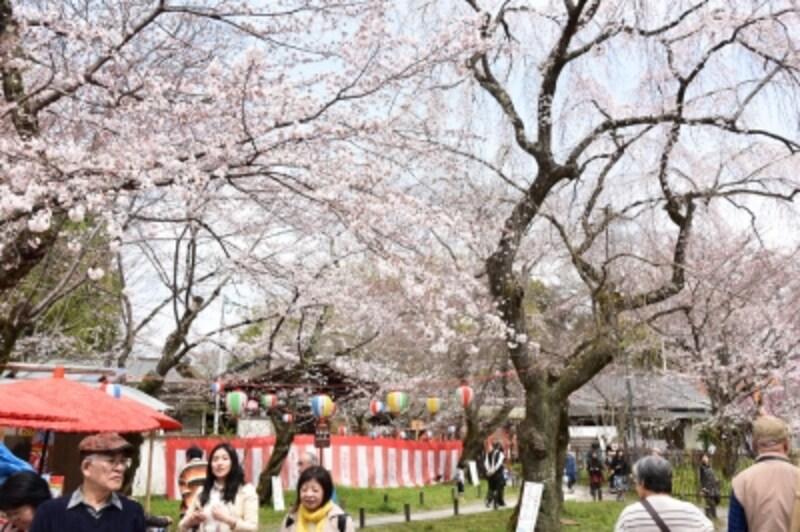 3月下旬~4月上旬にかけての華やかな平野神社境内(2016年3月31日撮影)