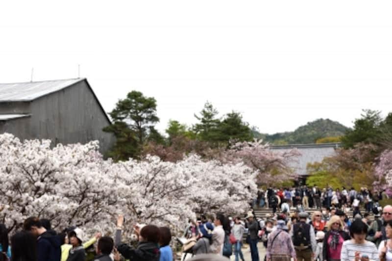 正面に見えるのが国宝の金堂、左手に咲くのが御室桜