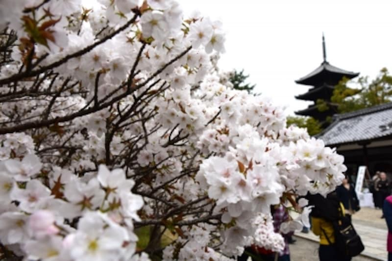 御室桜と五重塔
