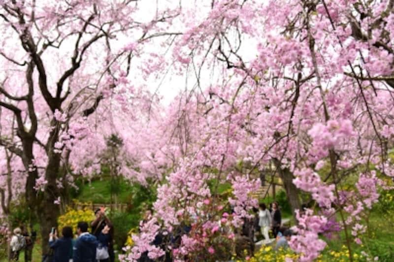 原谷苑の紅しだれ桜