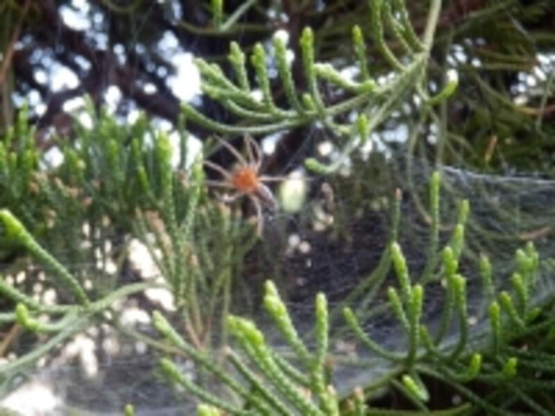 庭木に巣を張るクモ