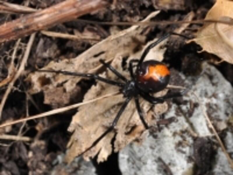 外来種で毒を持っているセアカゴケグモ