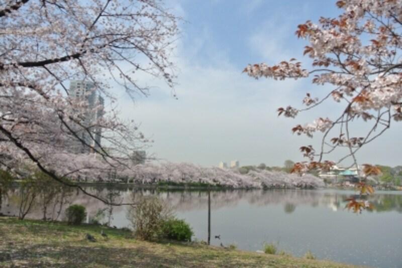 桜の美しい上野恩賜公園の不忍池undefined