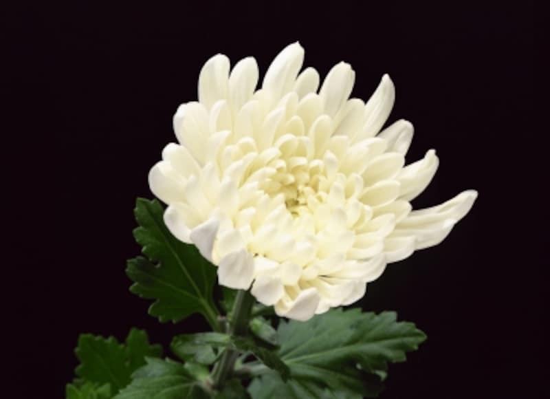 お墓参りの花で、菊が選ばれるのはちゃんと理由があります