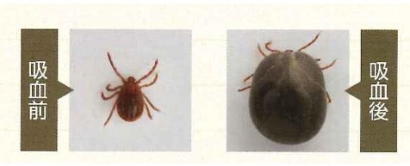 マダニの吸血前(左)と吸血後(右)