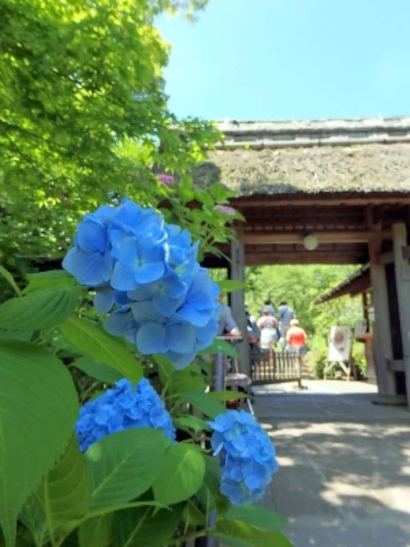 東慶寺の茅葺きの門前に咲くアジサイ