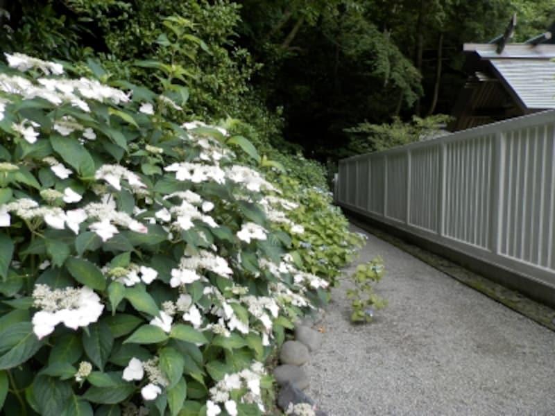 ヤマアジサイ咲く鎌倉宮