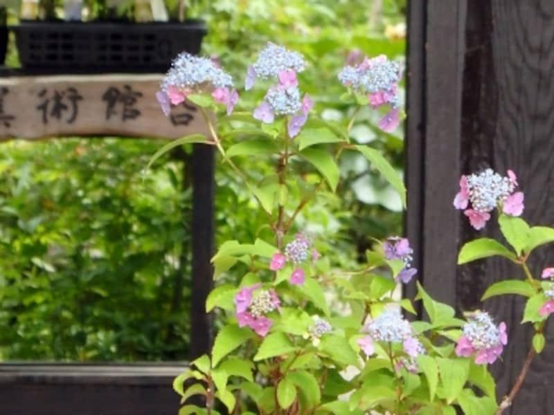 北鎌倉古民家ミュージアムのヤマアジサイ