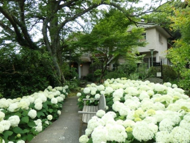 浄妙寺に咲く純白のアナベル