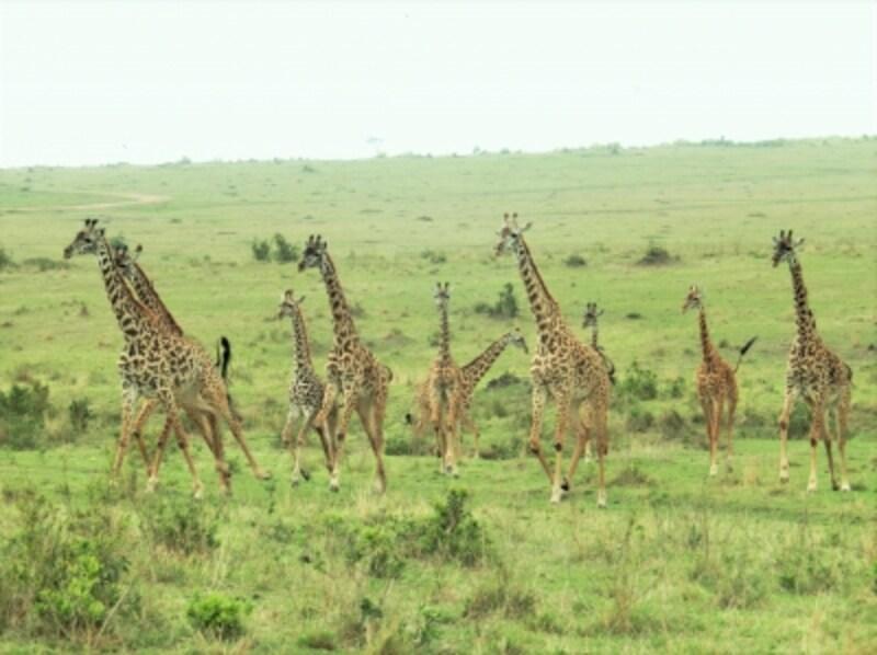あマサイマラの大平原を駆け抜けるキリンの群れ。サファリカーに乗って動物たちのパラダイスへ!