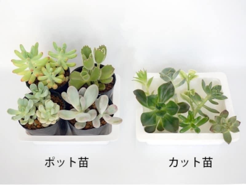 多肉植物の苗