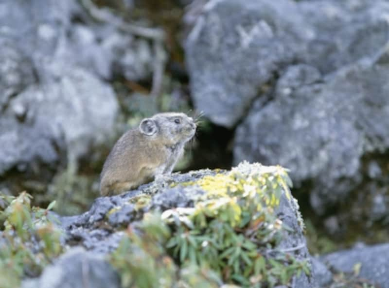 岩場に住む、ナキウサギ
