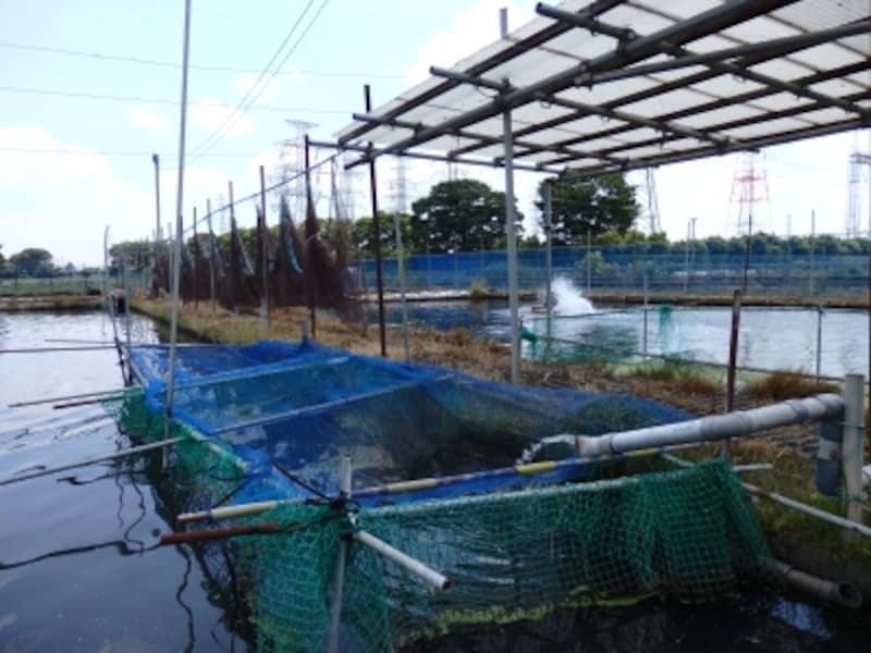 大場川の東岸に設けられたなまずの養殖池