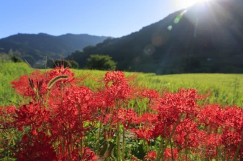秋彼岸のころに咲く彼岸花