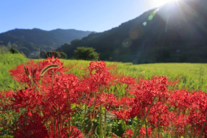秋分の日・秋分 秋のお彼岸頃に咲く彼岸花
