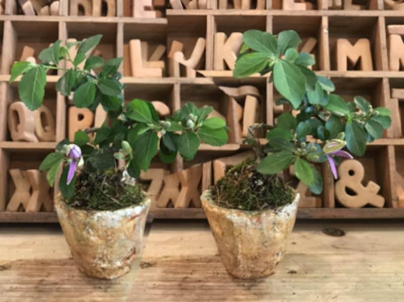 盆栽,ミニ盆栽,盆栽教室,盆栽入門