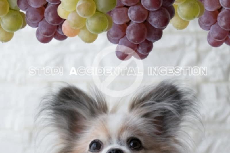 犬undefinedぶどうundefinedブドウundefinedレーズンundefined与えてはいけないundefined食べてもいい