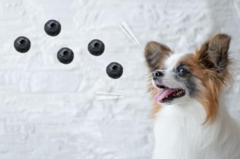 犬undefinedブルーベリーundefined食べて良いundefined量undefined病気undefined薬undefined食べ合わせ