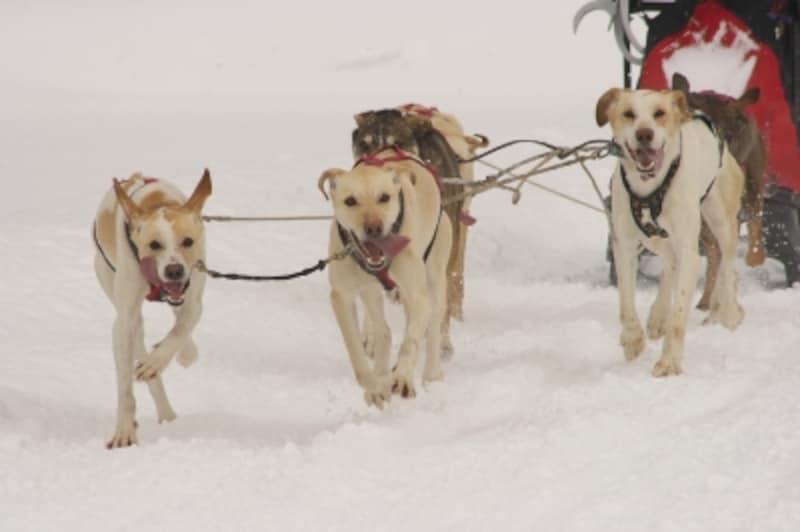 犬のハーネスは犬ぞりが起源?