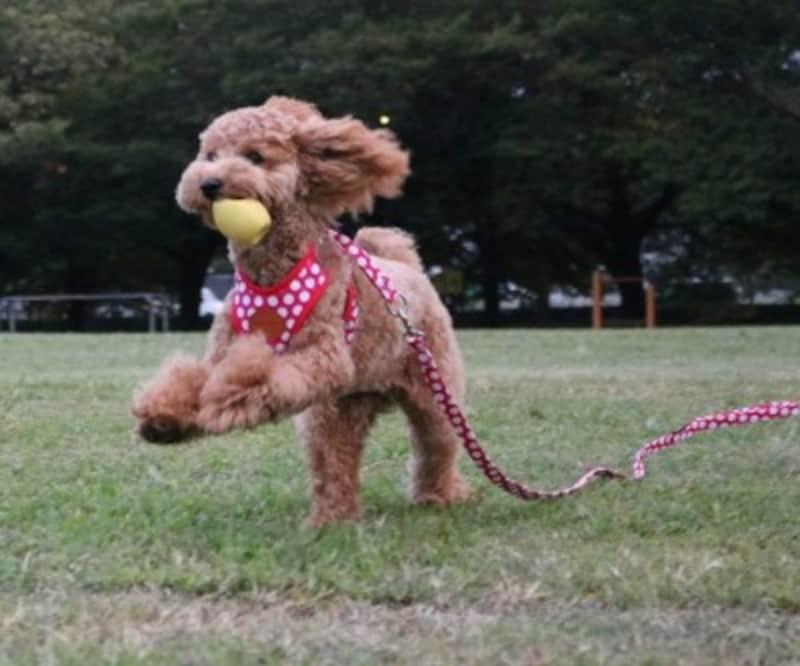 RantBell(ラントベル)小型犬ハーネスリードセットドット柄かわいい肉球(赤S)