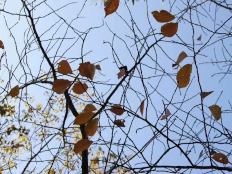 「木枯らし」が吹くたびに葉が落ちていきます