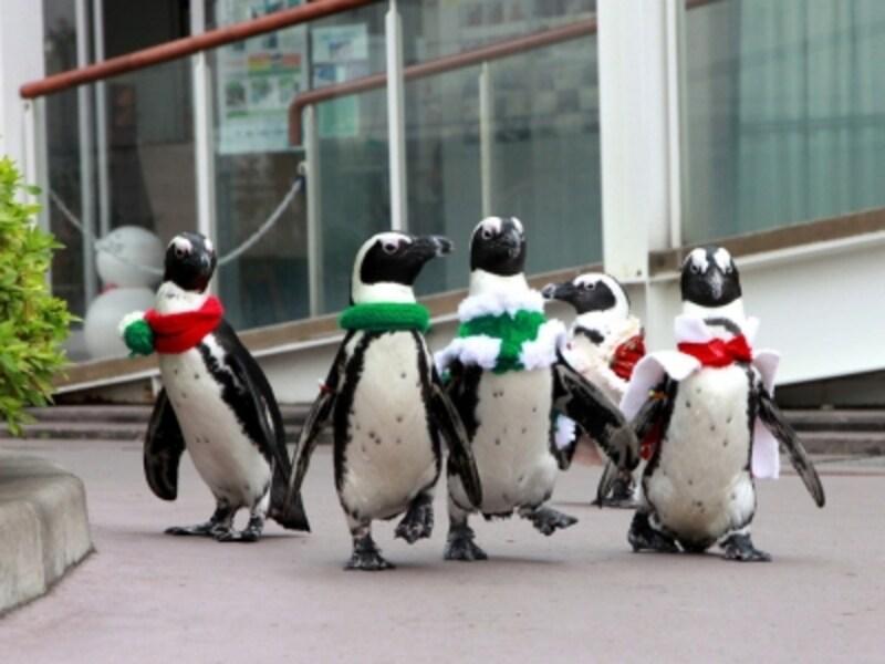 ケープペンギンのクリスマスパレードは必見!ふれあいラグーン中央「フレンドリーサークル」で昼と夜の2回行われます(画像提供:横浜・八景島シーパラダイス)