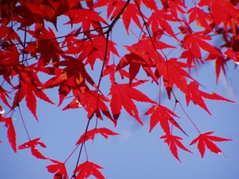 色鮮やかなモミジの紅葉