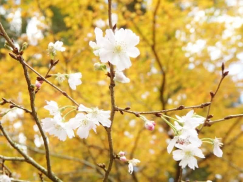 十月桜と紅葉のコラボレーション