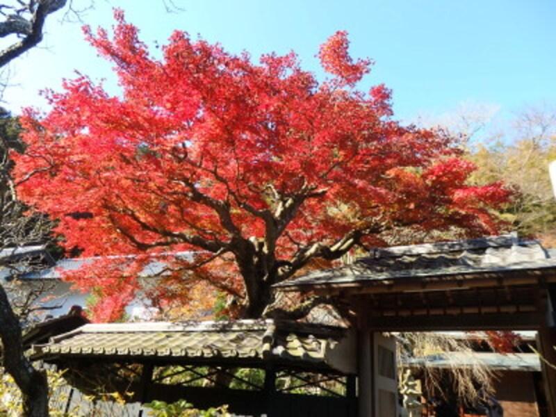 東慶寺・本堂前の紅葉