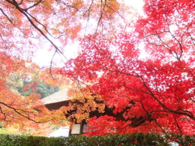 錦絵のような長寿寺の紅葉