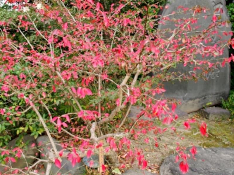 ニッサ、スズランノキとともに世界三大紅葉樹なんだそう
