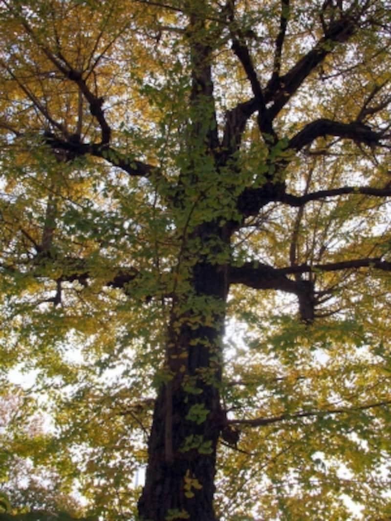 どことなく、風格のある老木だ