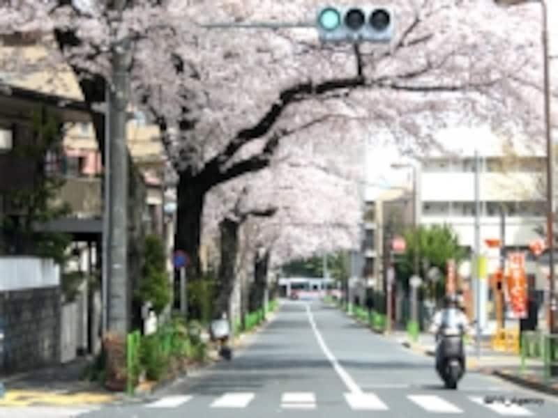 春の「碑桜通り」(2011年4月撮影:右建物がマンション現地にあたる)